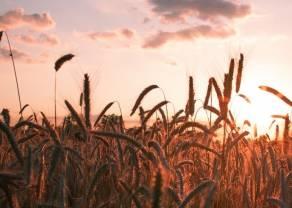 ¿Continuarán declinando los precios de trigo?