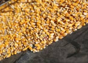 El maíz se encamina a caída semanal de 10% por lluvias favorables a la cosecha (materias primas)