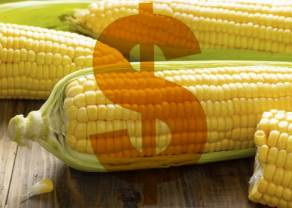 El USDA rebajó la calificación de la condición del cultivo de maíz a nivel nacional para el maíz 2021, ¿qué pasa con los precios del maíz?