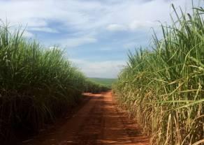 La producción de azúcar en Brasil se recupera a finales de junio y los precios caen (materias primas)