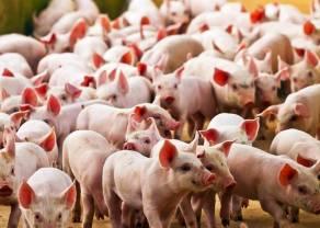 Las autoridades chinas anunciaron la repoblación de cerdos. ¿Continuarán bajando las cotizaciones de LHOG?