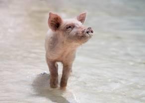 ¿Qué tendencia tomará el valor de la carne de cerdo?