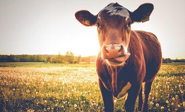 El volumen de sacrificio de ganado en Estados Unidos aumentó la semana pasada. ¿Qué pasa con los precios de la carne?