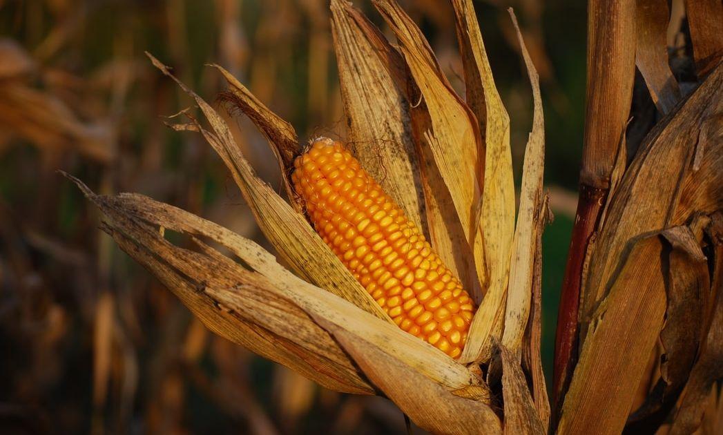 ¿Has visto ya las conclusiones del reporte de USDA para soja y maíz?