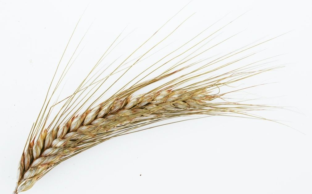 Hundimiento del precico del trigo