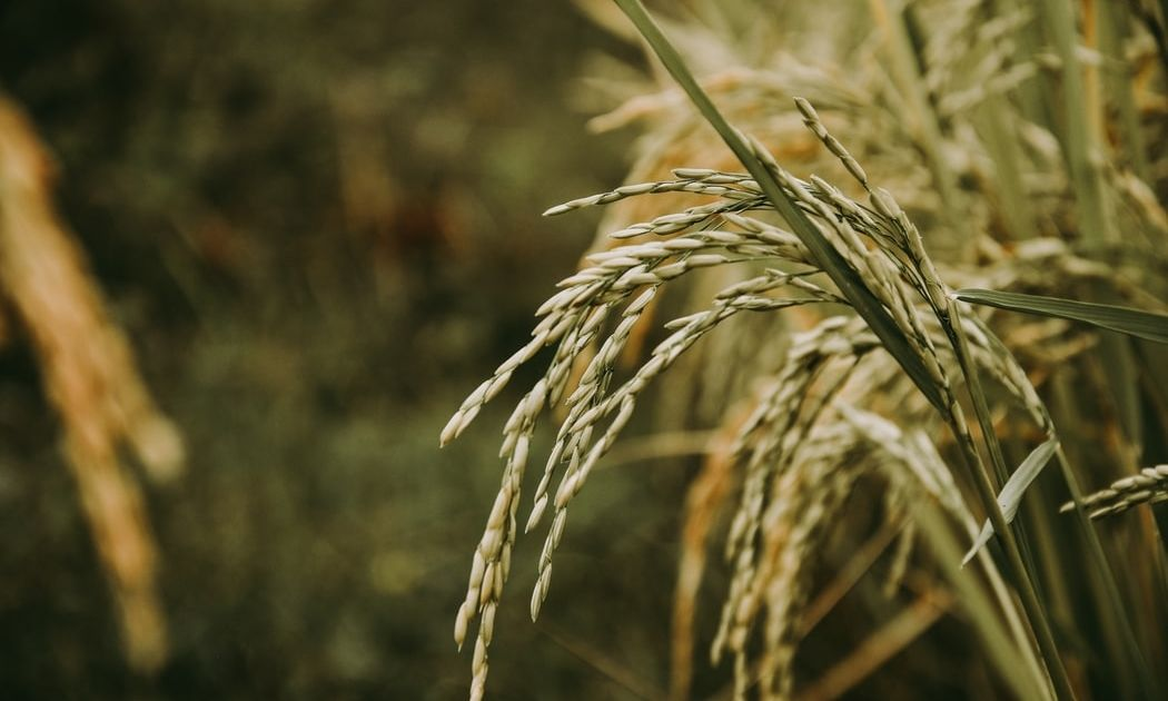 Novedades en las cotizaciones del arroz