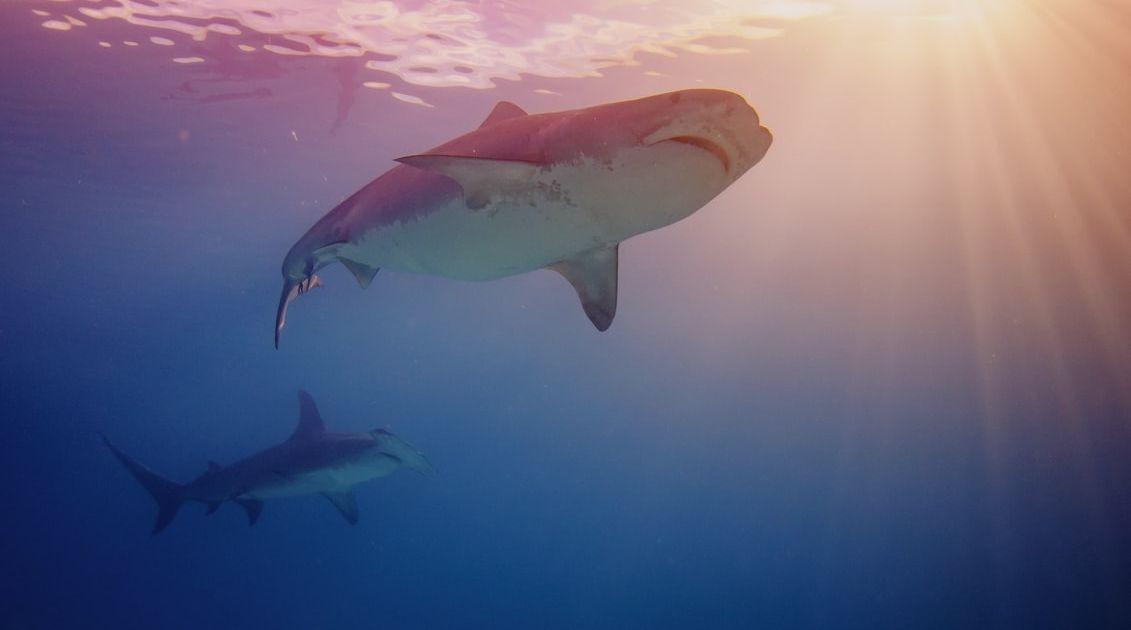 Pon un tiburón (no de bolsa) en tu vida, y mantente fresco